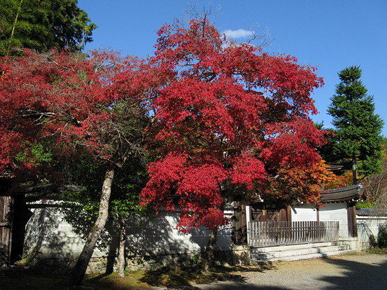 Japanese maple: Jingoji