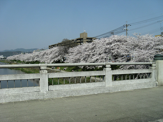 Kamo River Sakura Bridge