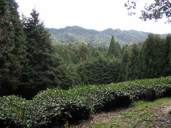 Takisaka Tea Plantation