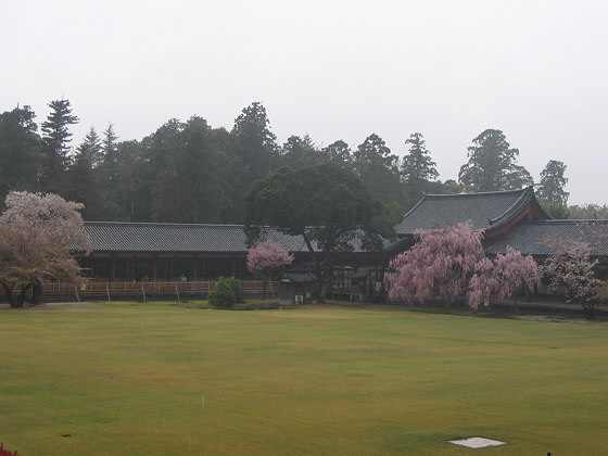 Todaiji Temple sakura in rain